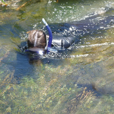 The Moapa dace population is tracked by snorkelers who count the fish one by one.