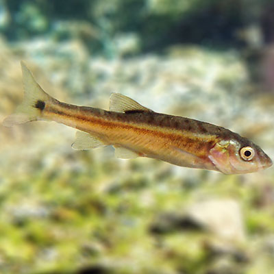 The Moapa dace can be identified by the large black spot near the base of its tail fin.