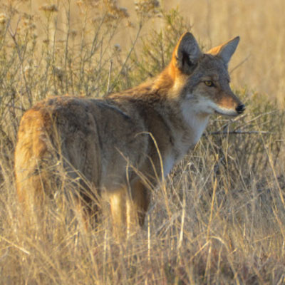 Coyote | Canis latrans