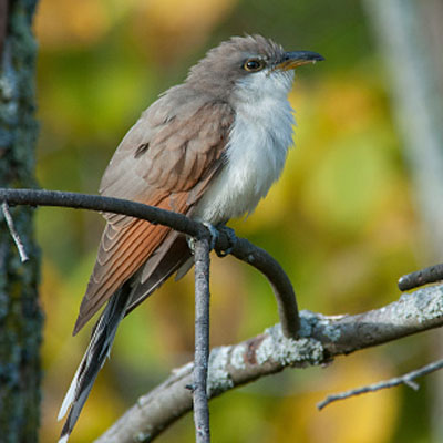 Western yellow-billed cuckoo Coccyzus americanus occidentalis